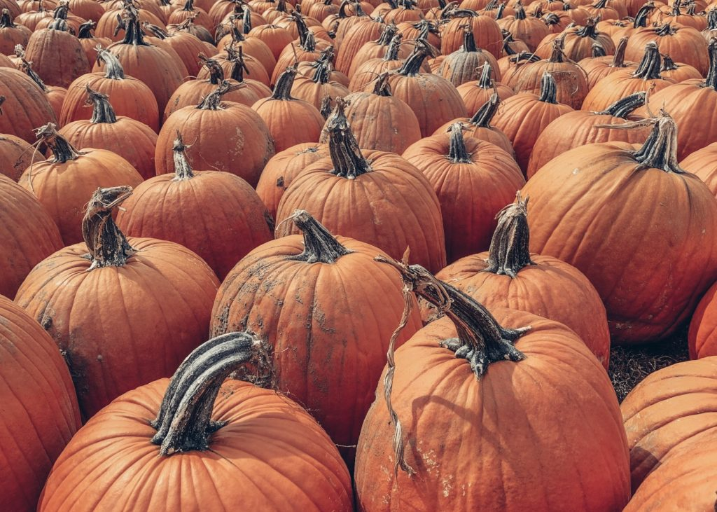 Pumpkin Picking in the Fall at Downey's